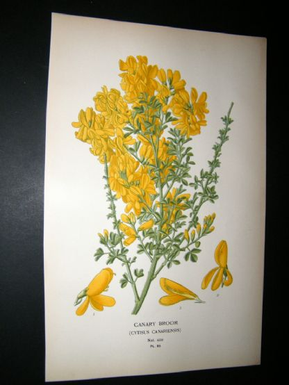 Step 1897 Antique Botanical Print. Canary broom | Albion Prints